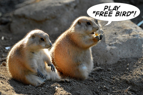 prairie dog groupies